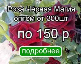 Саженцы розы Чёрная магия - оптом!