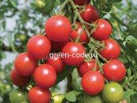 Рассада томатов Красная вишня