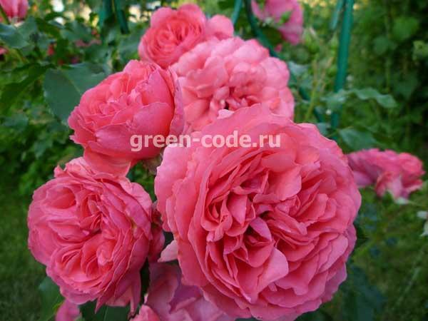 Саженцы розы купить в спб купить искусственные цветы екатеринбурге оптом