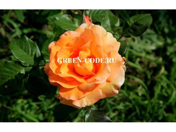Спб купить саженцы розы арлекин где купить в киеве розы гранд при