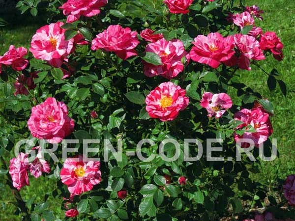 Парковые розы купить спб доставка цветов, донецк